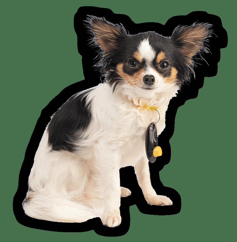 addestramento con il clicker PlayDog asd Addestramento cani milano