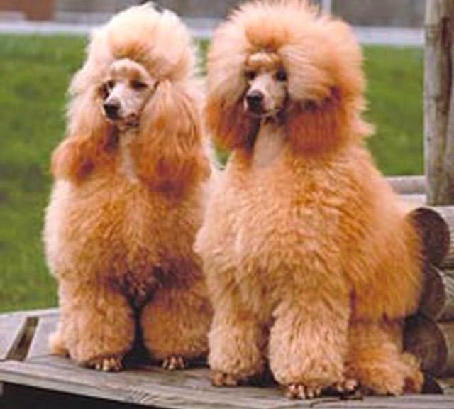 Barbone PlayDog Addestramento cani milano