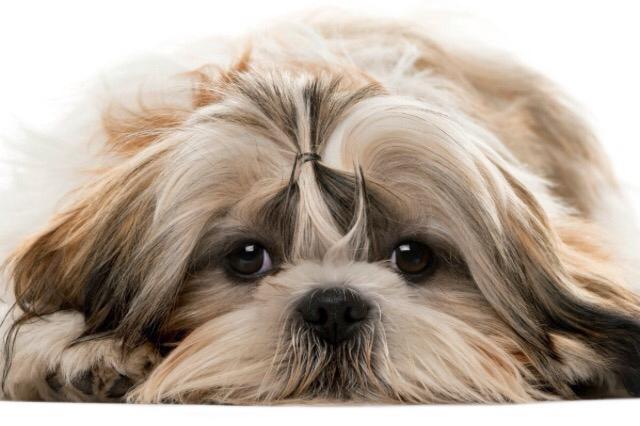 Shitzu PlayDog Addestramento cani milano