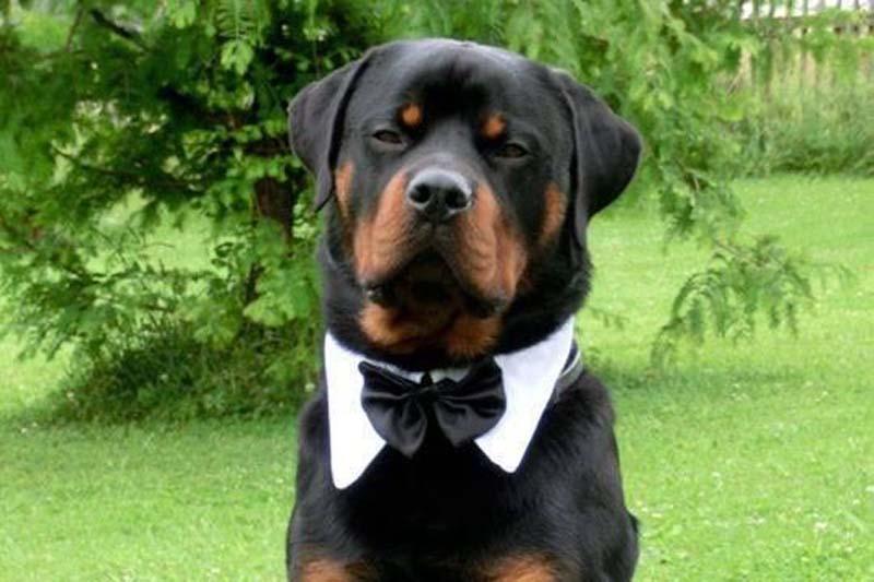 Bon ton per cani rot   Playdog Addestramento cani milano